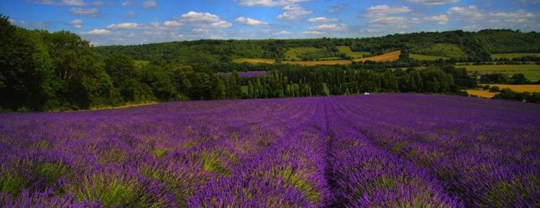 Lavender - Sleeping Well: Tips To Help You Sleep