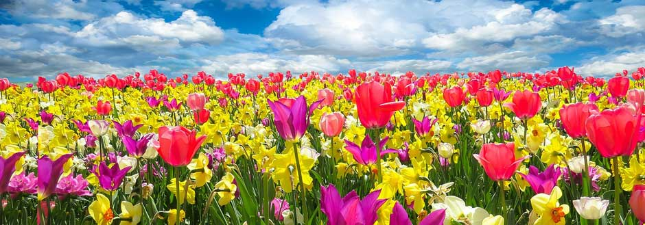 Field of bright tulips