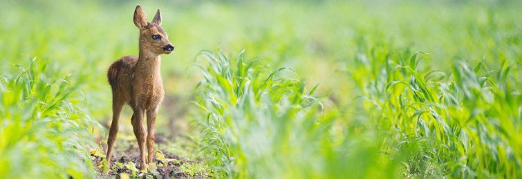 cruelty-free-animal-picture-wild-life-dear-field
